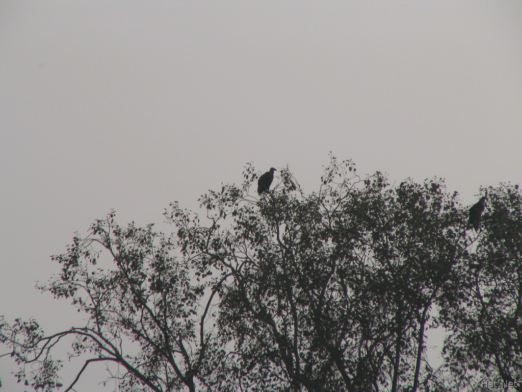 vulture at ranthambhore