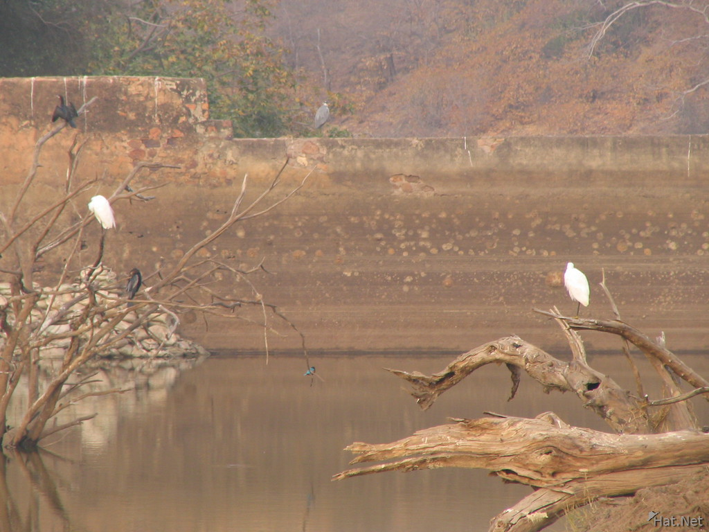 night and day egrets at ranthambhore