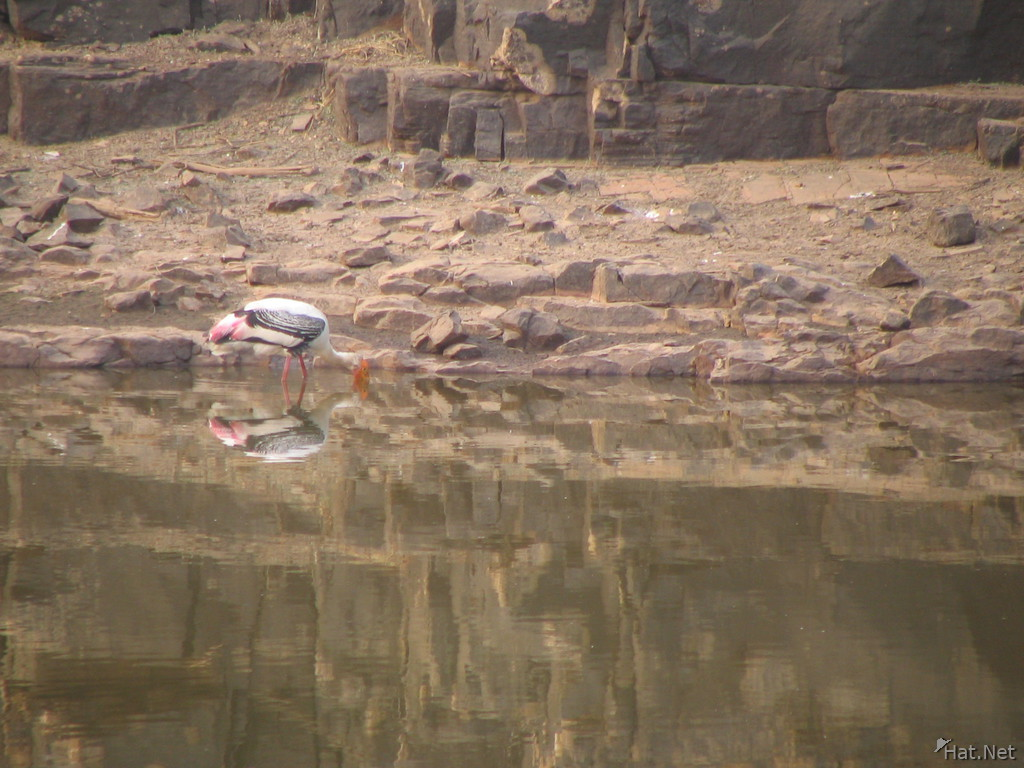 indian sarus crane drinking at ranthambhore