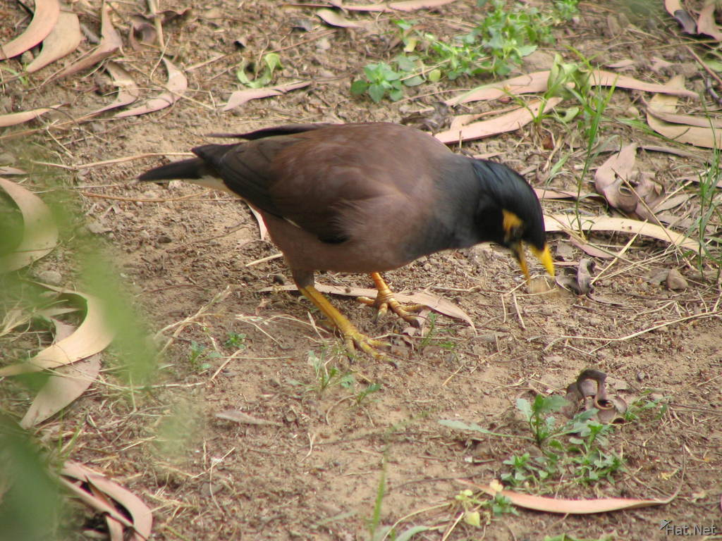 common myna in lodi garden