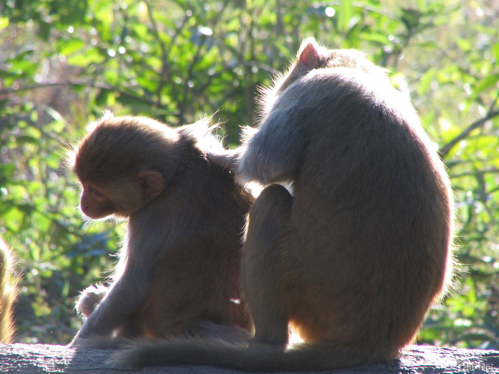 monkeys helping eaching other in dhikala