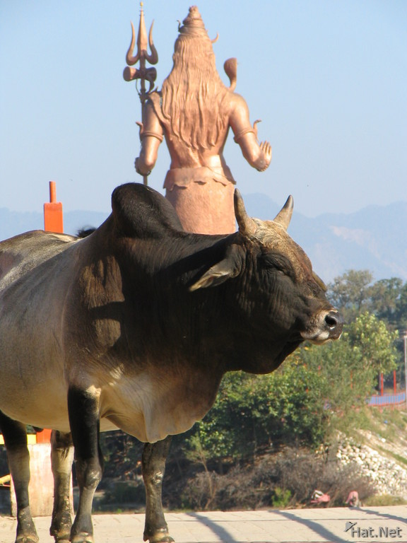 cow and shiva