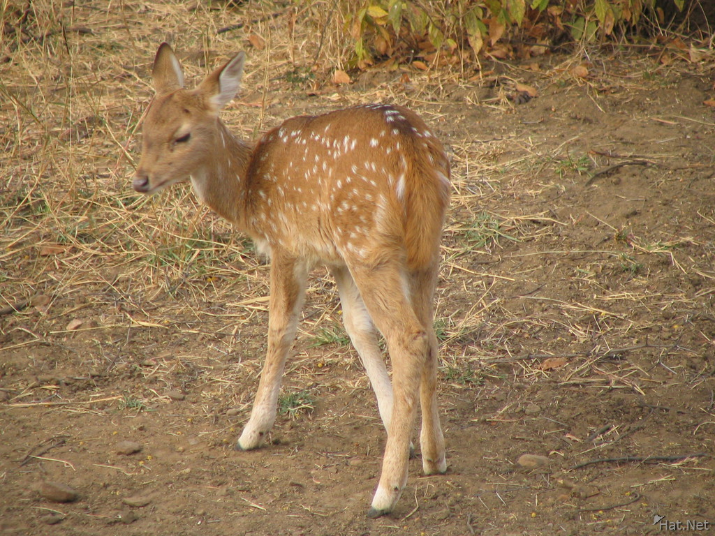 baby spotted deer at ranthambhore