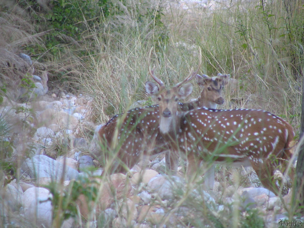 two spotted deers