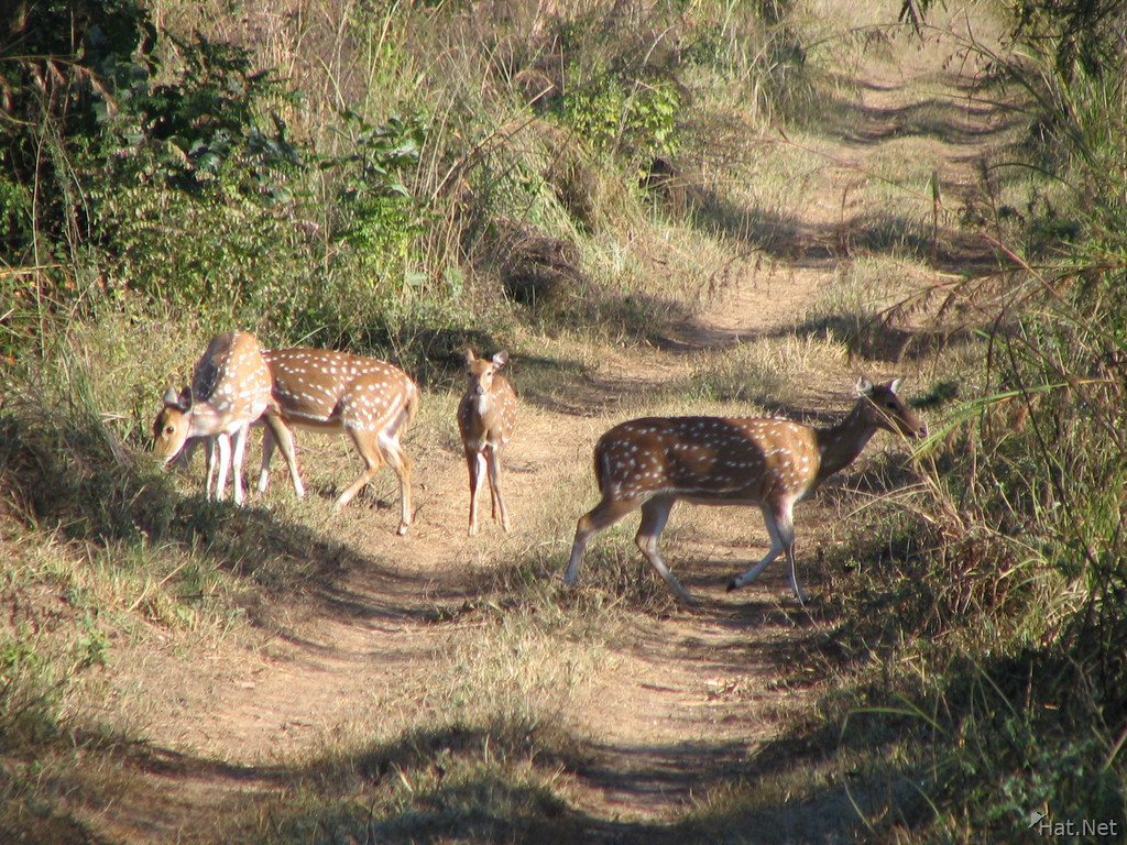 four dear deers