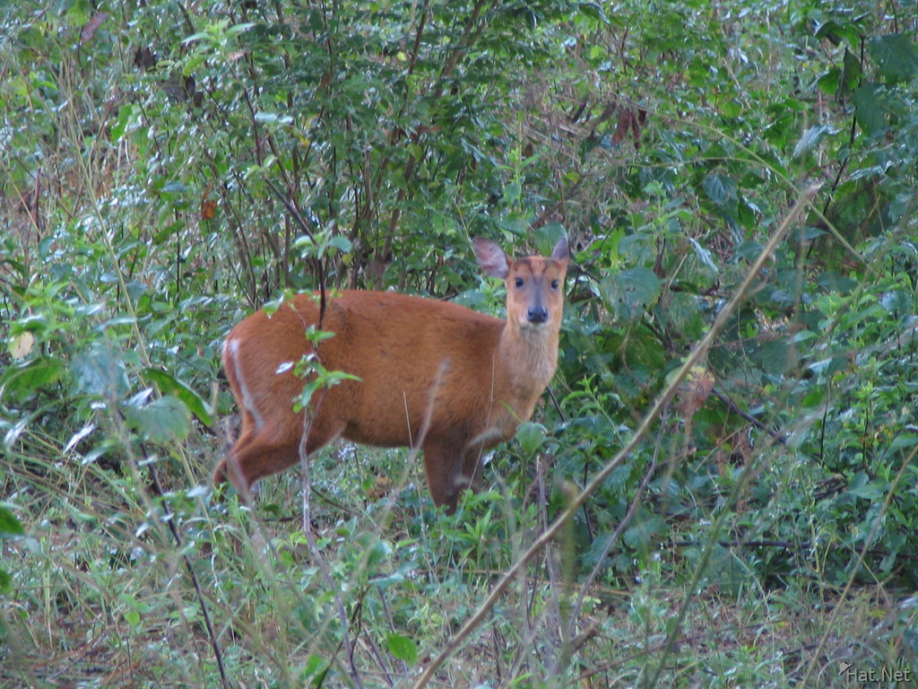 curious hog deer