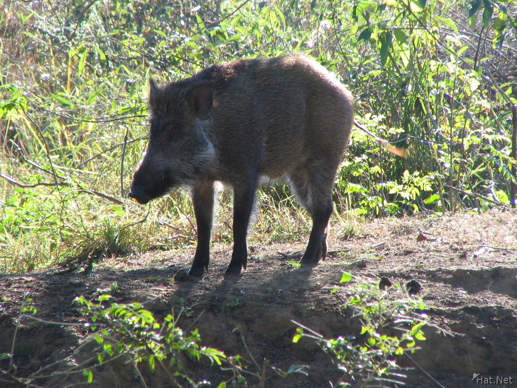 skittish wild boar