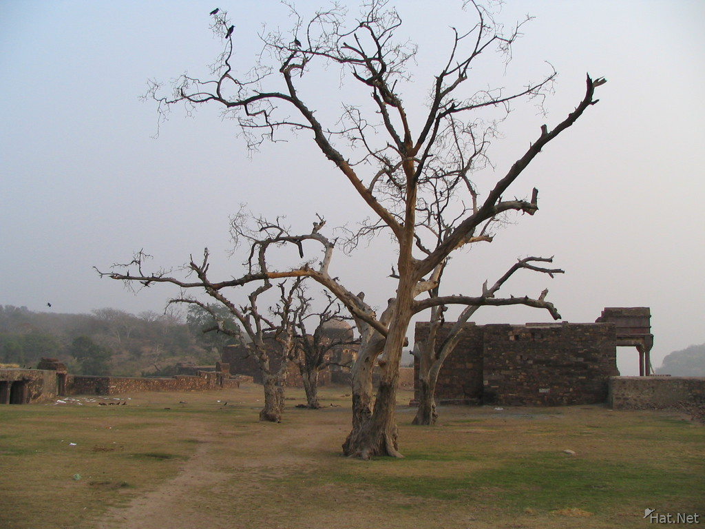 crow tree at ranthambhore