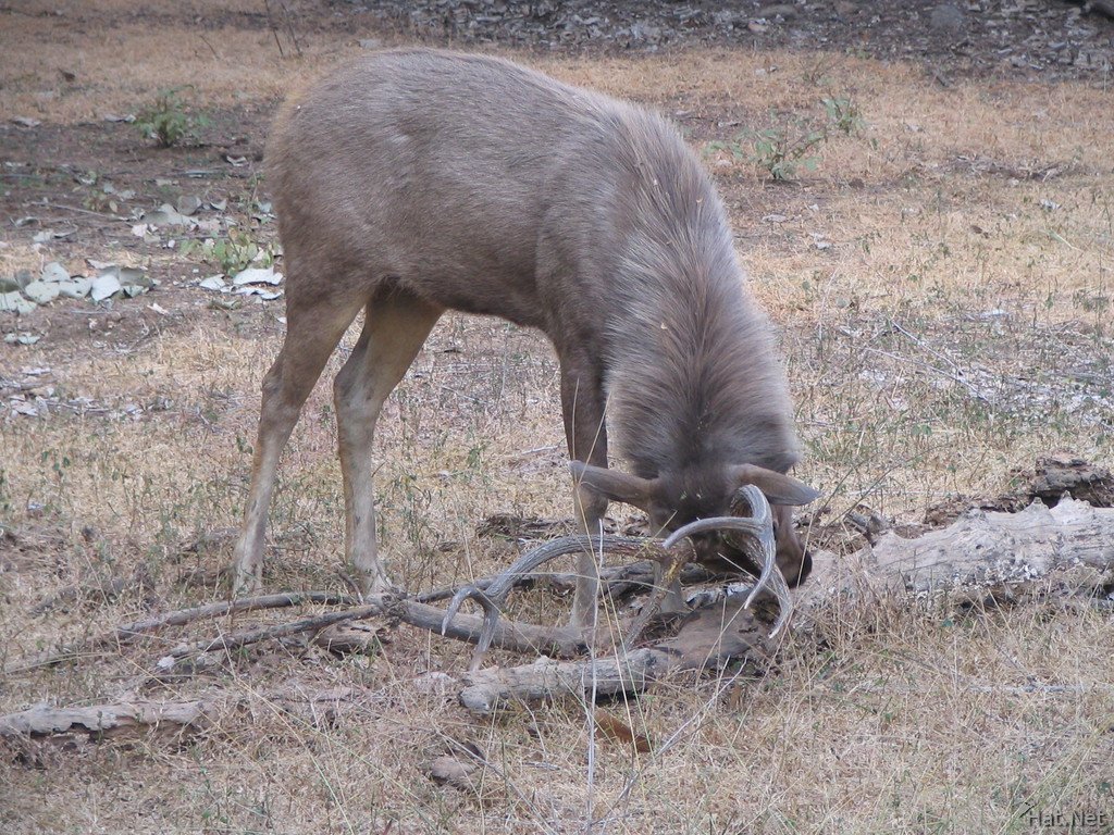 sambar deers cleaning horns