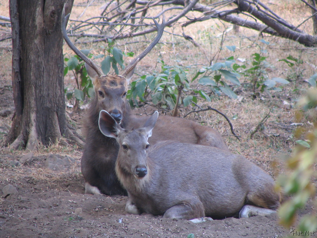 sambar deer couple at ranthambhore