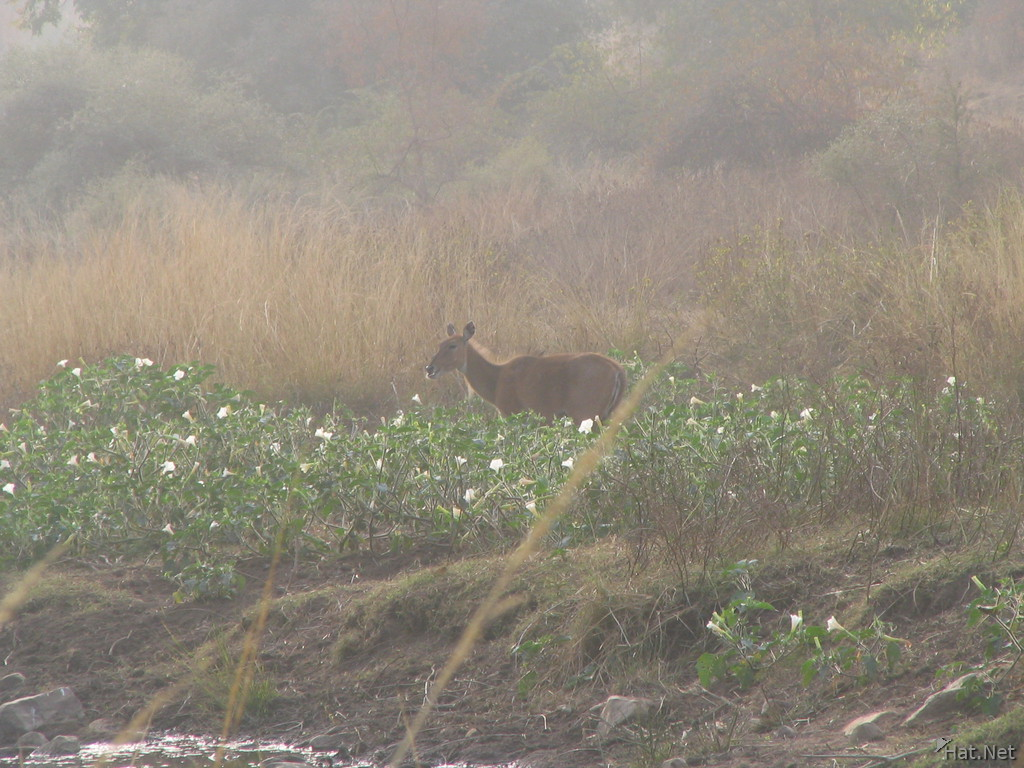 sambar deer at ranthambhore