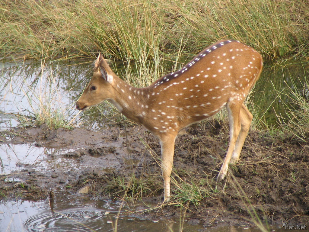 female spotted deer at ranthambhore