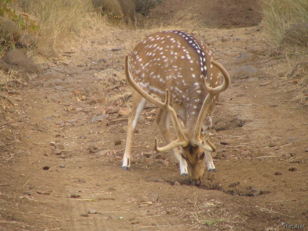 digging spotted deer