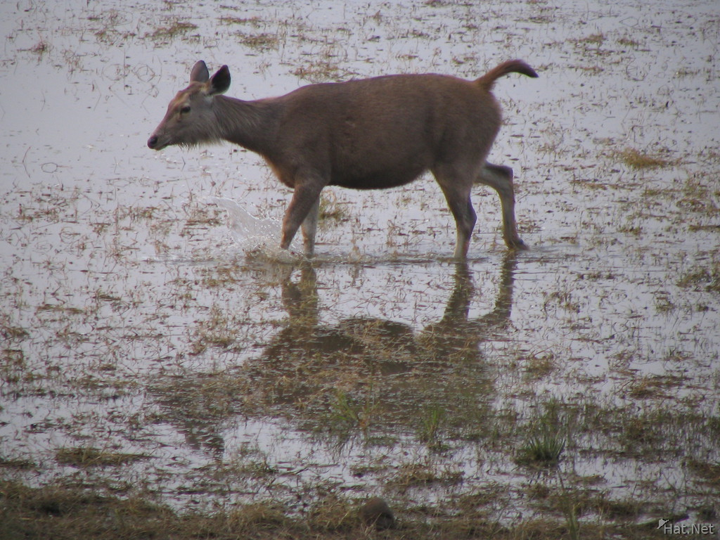 sambar deer crossing river