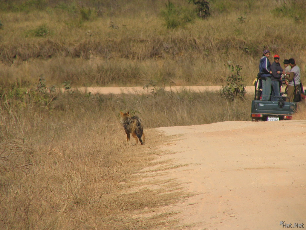 jackal at kanha