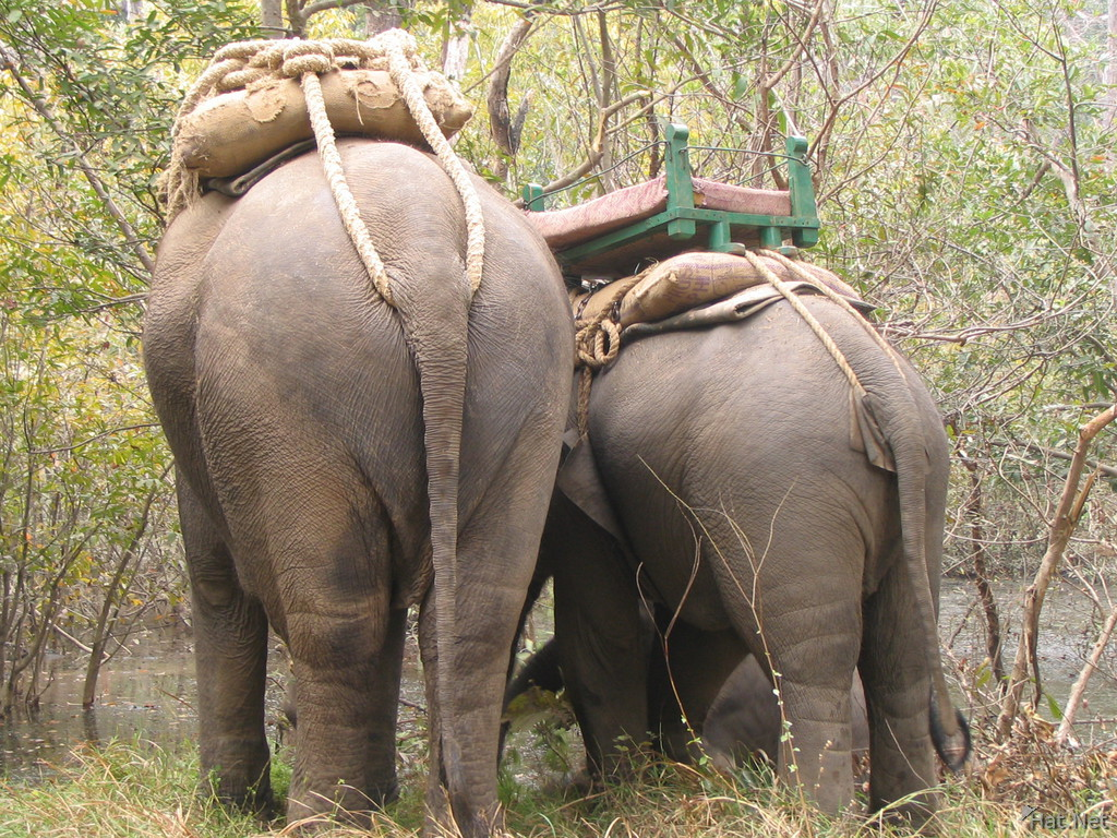behinds of the asian elephants