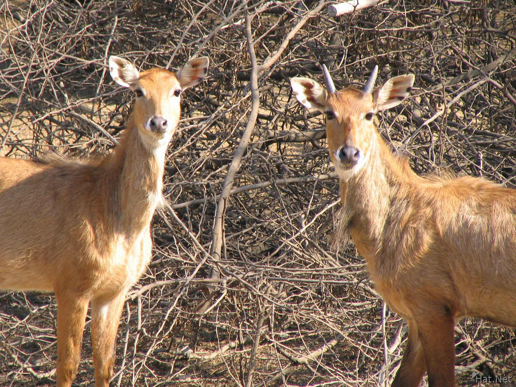 indian antelope couple
