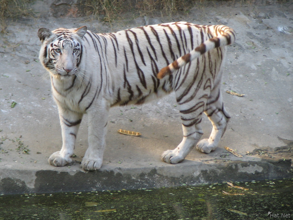 white tiger and its tail