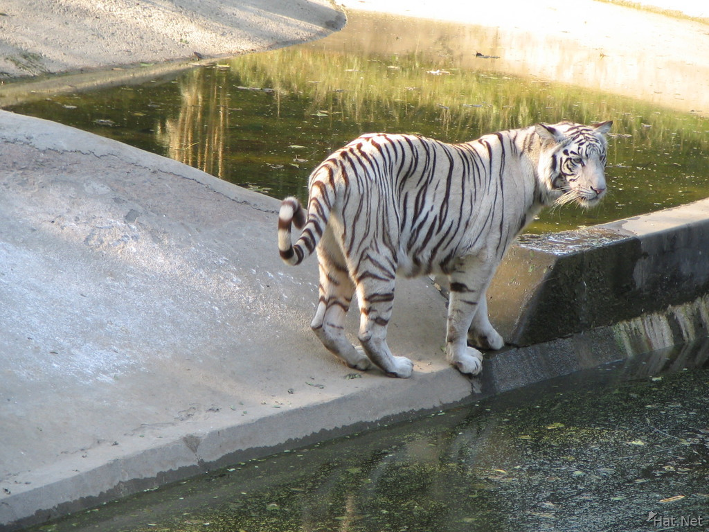 white tiger looking