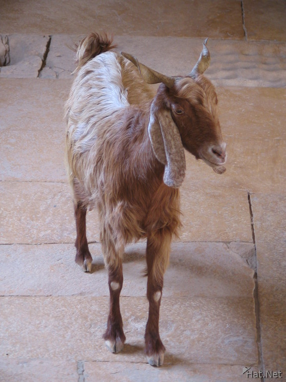 goat in haveli house