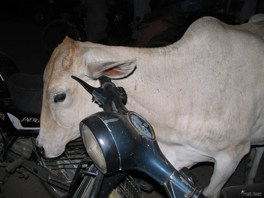white cow cleaning ear on bike handle