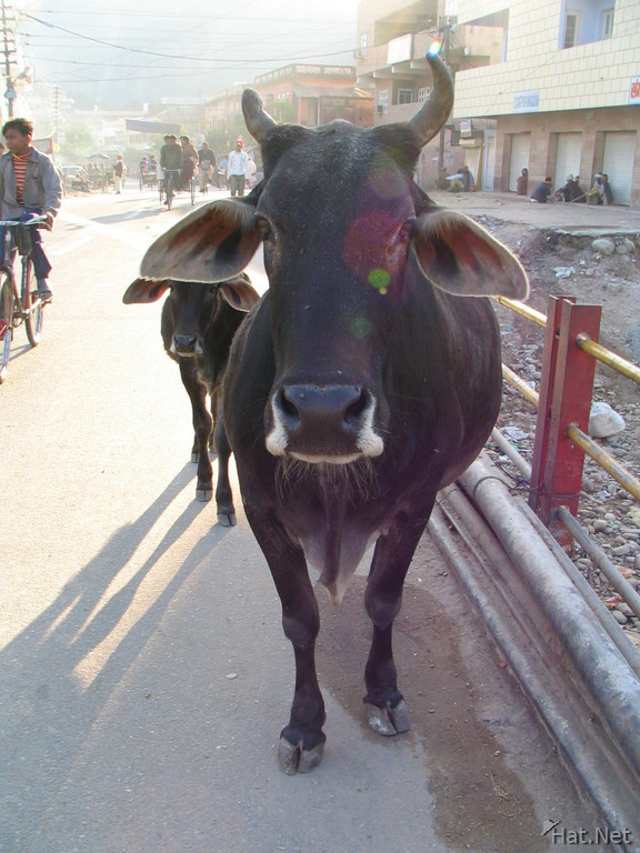 cow on haridwar street