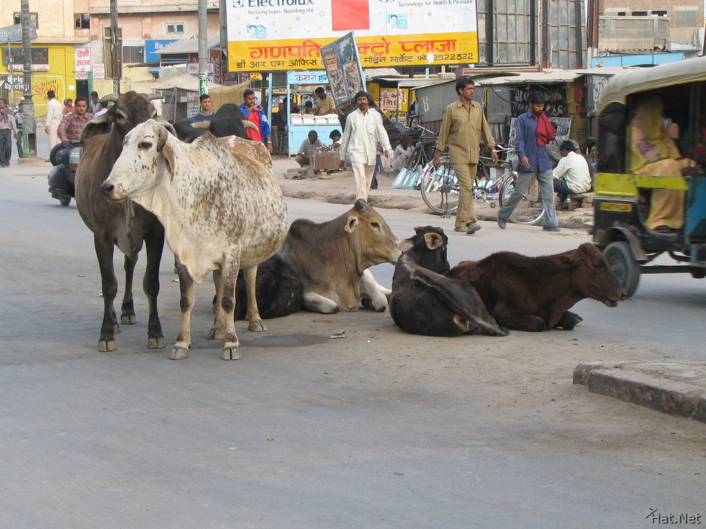 cows in bikaner