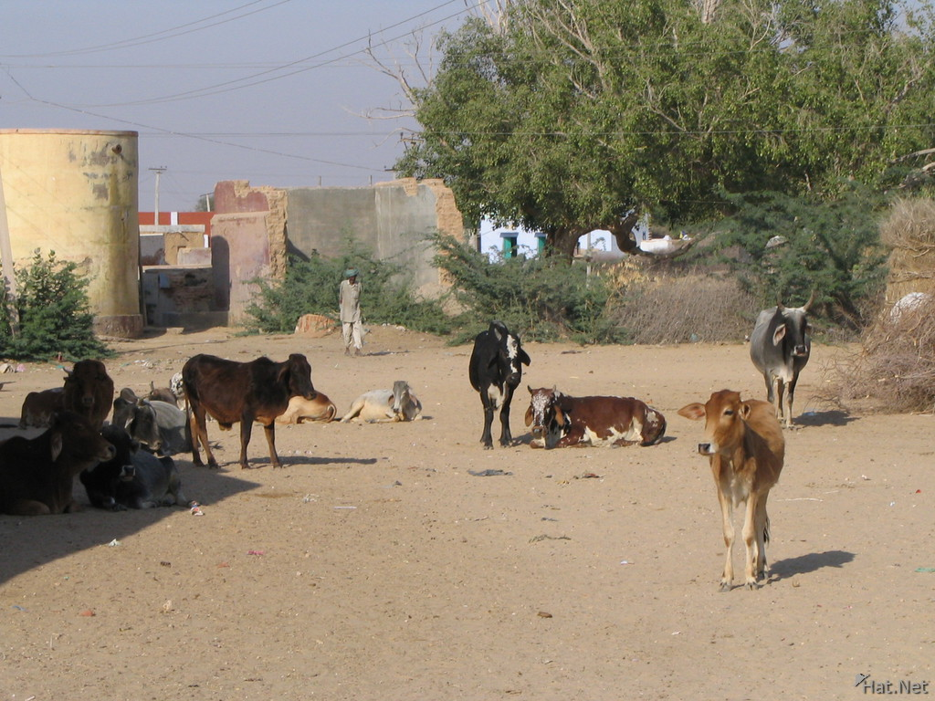 cows at bikaner village