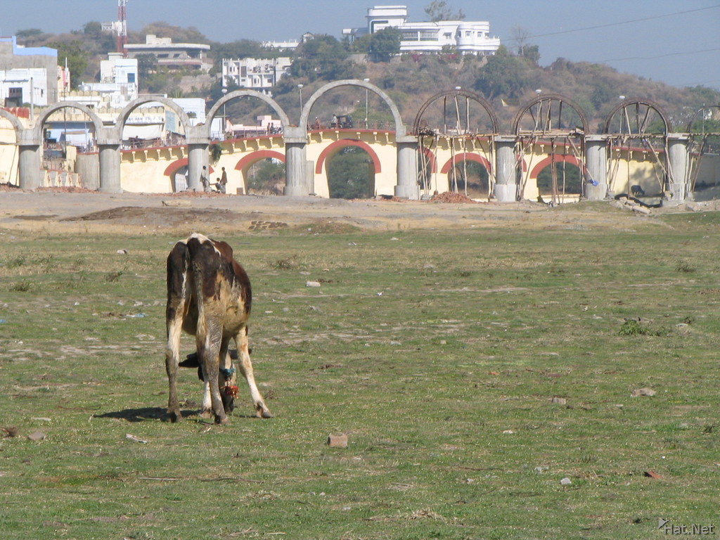 cow grazing in the dry lake of udaipur