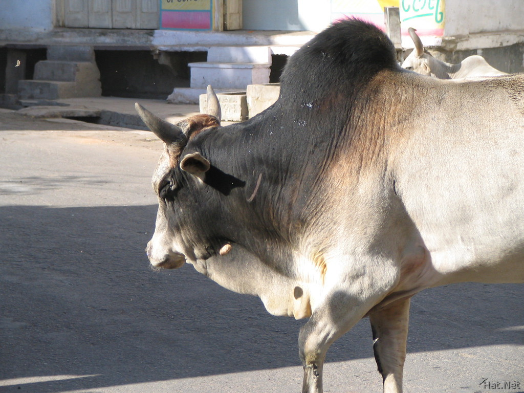 holy gray cow in udaipur