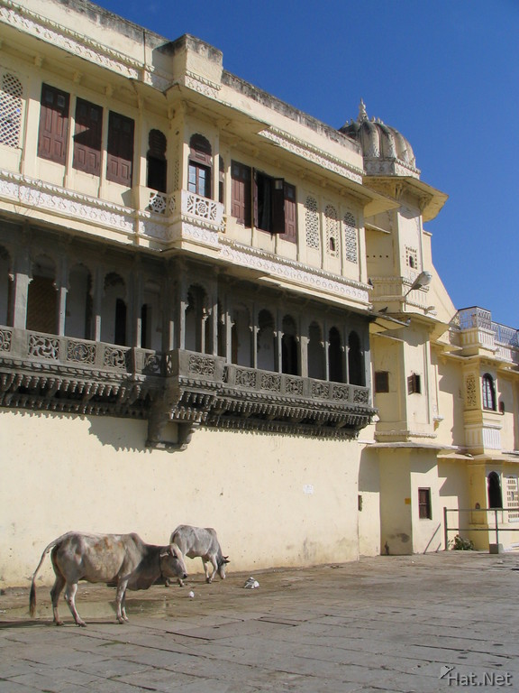cows near the lake side haveli