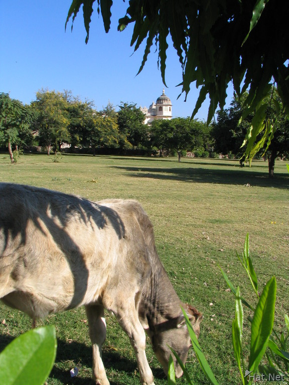 cow at chittorgarh