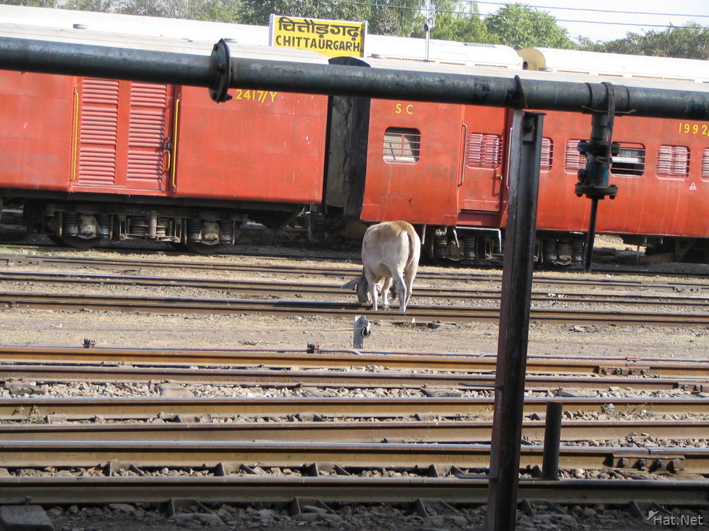 cow grazing at chittaurgarh railway station