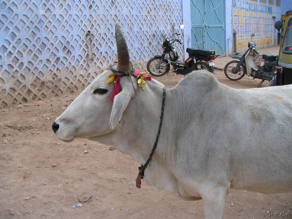decorated holy cow of bundi