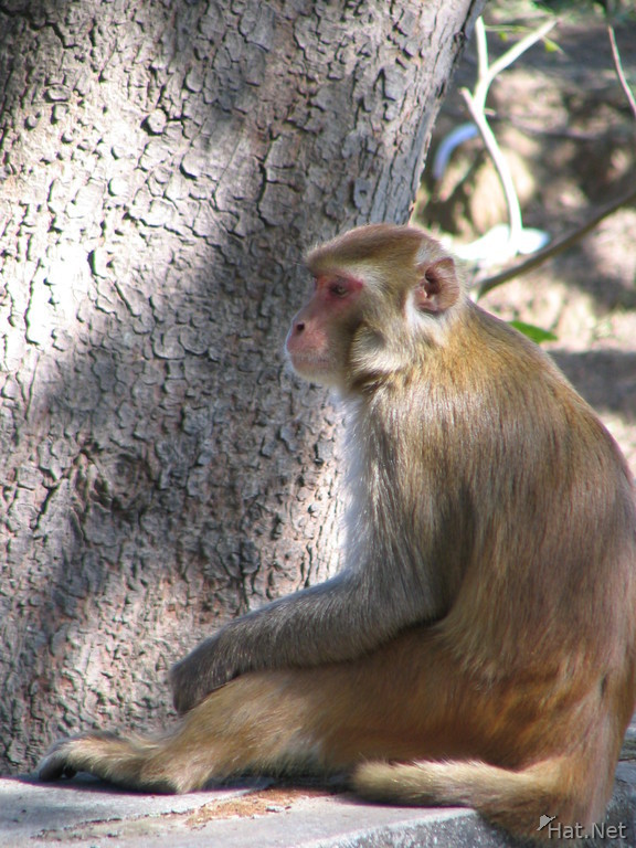 monkey contemplating at dhikala