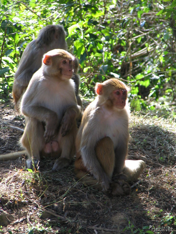 three monkeys at dhikala