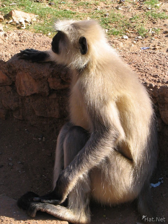 monkey at chttorgarh