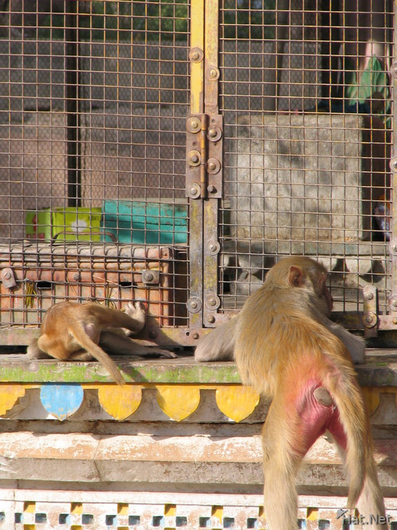 monkeys in front of the hanuman temple