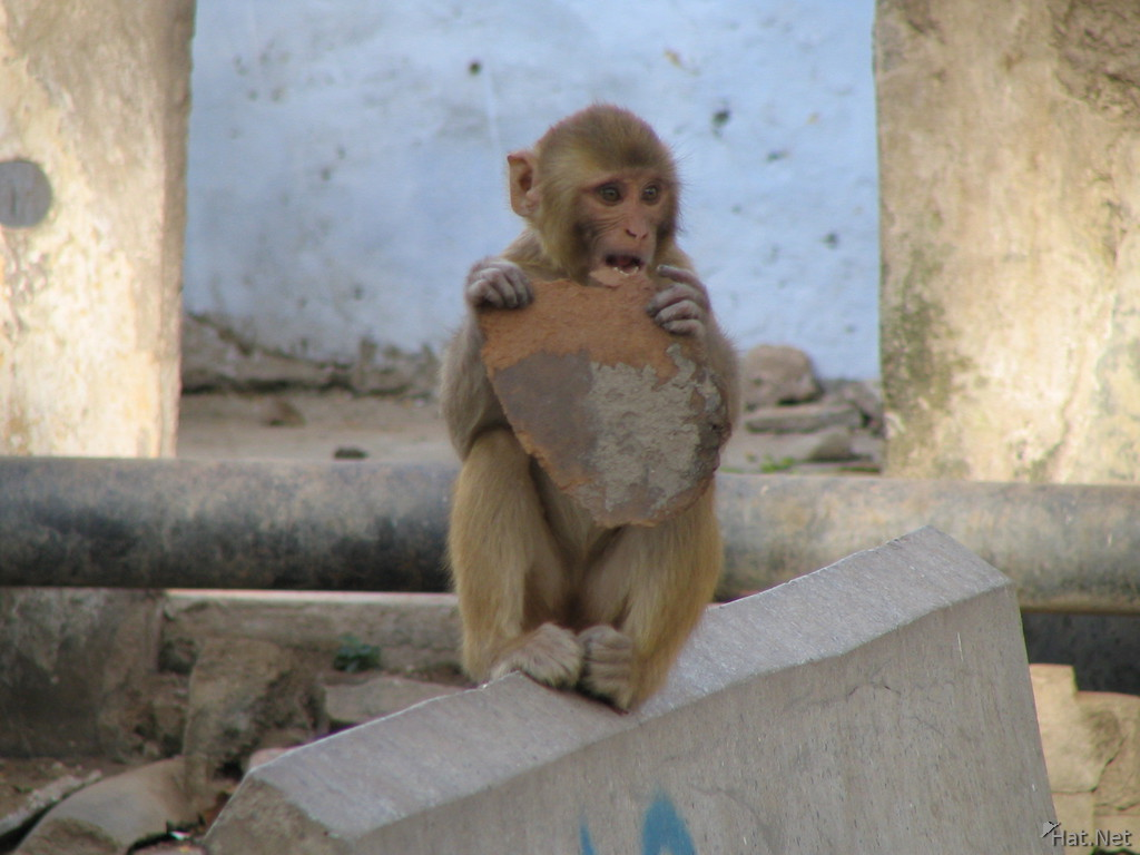 Male Cynomolgus monkey eating