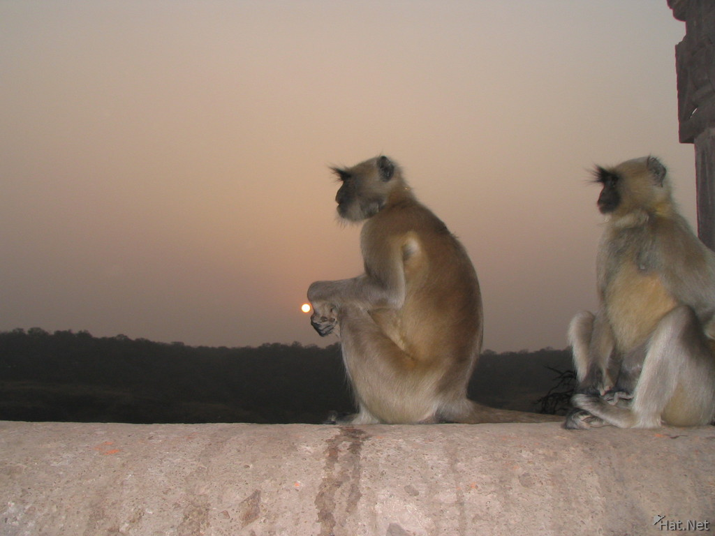 loning monkey at rathamhbore sunset