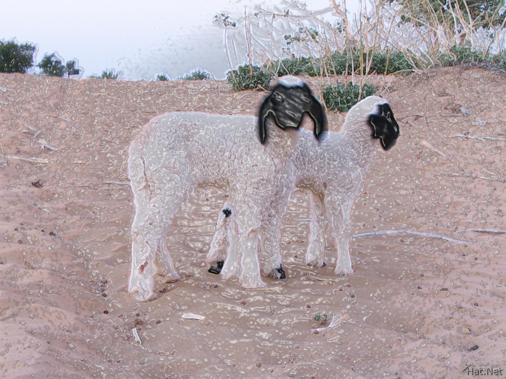 two sheep in desert