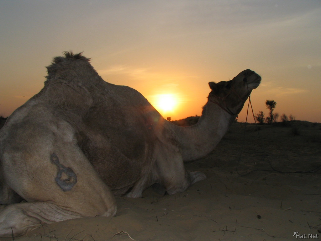 branded camel and setting sun in bikaner
