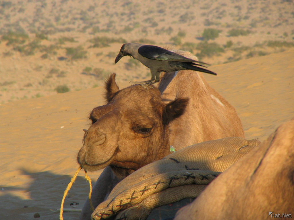 crow and camel