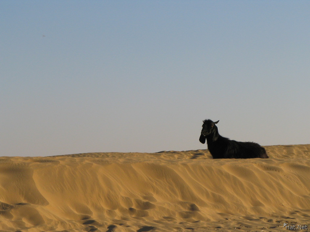 goat and sand dune