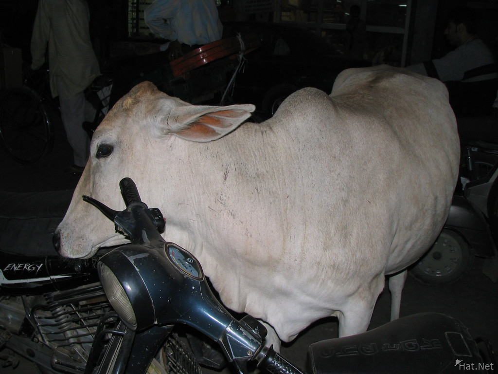 white cow scratching on the bike handle in old delhi