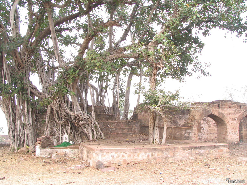 ancient tree near tope khana
