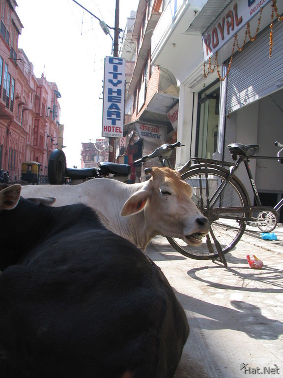 cow of haridwar near city heart hotel
