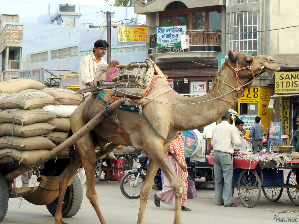 Camel Transport In Bikaner