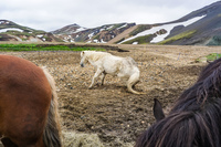 Landmannalaugar white horse South,  Iceland, Europe