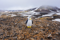 Hrafntinnusker penguin and snow mountain South,  Iceland, Europe